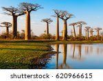 avenue of the baobabs | Shutterstock . vector #620966615