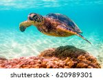 endangered hawaiian green sea... | Shutterstock . vector #620989301
