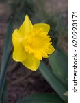 Small photo of Narcissus, genus of predominantly spring perennial plants in the Amaryllidaceae (amaryllis) family