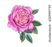 watercolor hand painted roses.... | Shutterstock . vector #620999759