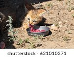 Small photo of African wild cat kitten eating