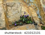 Small photo of Lust for life. Violet grew up on the stones. Violet blooming on the slope of stone mountain