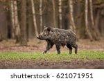 wild boar  sus scrofa  czech... | Shutterstock . vector #621071951
