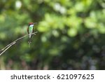 a blue throated bee eater have... | Shutterstock . vector #621097625