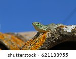 Small photo of Italian wall lizard bright green and close up Latin name podarcis sicula muralis having just bitten a kitten that was trying to catch it with cat hair in its mouth on a roof tile or pantile in Italy