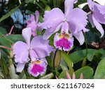 Cattleya  Winterm Rchen  Is A...