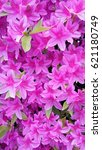 Small photo of Azaleas were in full bloom all over