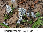 Small photo of Early squill, or Mishchenko squill, or white squill flowers. Each plant grows from a small bulb, blooming in early spring or late winter