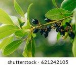 leaves of laurel and berries on ... | Shutterstock . vector #621242105