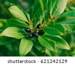 leaves of laurel and berries on ... | Shutterstock . vector #621242129