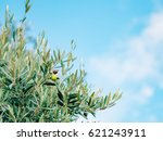 olive branch with leaves close... | Shutterstock . vector #621243911