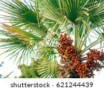 date palm in montenegro. fruit... | Shutterstock . vector #621244439