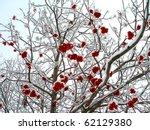 Winter Mountain Ash  Crone