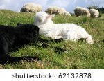 White and black sleeping lambs. Herd of sheeps, Skudde - the most primitive and smallest sheep breed in Europe on the field in Pasterka village in Poland. - stock photo