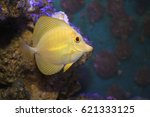 Small photo of Yellow Tang Fish