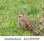 red legged partridge showing...   Shutterstock . vector #621359459
