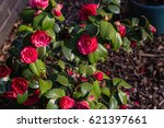Stock photo rose bush in the garden 621397661