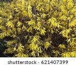 Forsythia Plant Or Forsaytiya ...