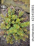 Small photo of Alpine Saxifrage saxifraga paniculata group as background