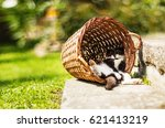 Stock photo tired kitten sleeping in shadow resting on its back in funny position hidden in vintage wicker 621413219