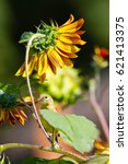 Small photo of American goldfinch perched on sunflower