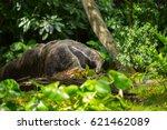 giant anteater | Shutterstock . vector #621462089