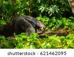 giant anteater | Shutterstock . vector #621462095