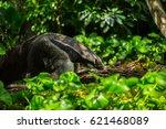 anteater | Shutterstock . vector #621468089
