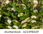 Small photo of Commonly known as hellebores, the Eurasian genus Helleborus consists of approximately 20 species of herbaceous or evergreen perennial flowering plants in the family Ranunculaceae