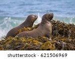 sea lion baby   Shutterstock . vector #621506969