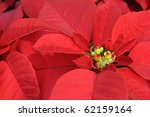 close up of red poinsettia... | Shutterstock . vector #62159164