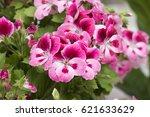 Pink Geranium In Bloom In Spring