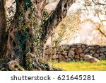 olive tree. olive groves and... | Shutterstock . vector #621645281