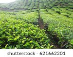tea plantation located in... | Shutterstock . vector #621662201
