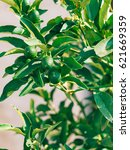 Small photo of Green kumquat Fortunella, Kinkan on the tree. Fruit citrus trees in Montenegro.
