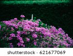 Purple Queen Bougainvillea In...