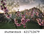 blossoming tree at sunset   Shutterstock . vector #621712679