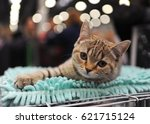 Stock photo british shorthair at cat show in moscow 621715124