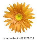 Orange Gerbera Flower On White...