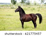 beautiful dark horse running... | Shutterstock . vector #621775457