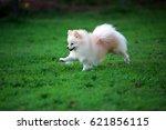 Pomeranian Run In Grass Field ...