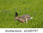 Stock photo hare running on green field 62189797