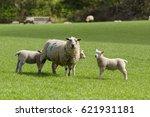 Mother Ewe Keeps A Watchful...