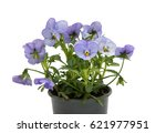 Pansies Isolated On White...