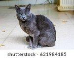Cute Korat Cat With Beautiful...