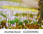 A Lot Of Crocuses In The Grass...