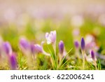 a lot of crocuses in the grass. ... | Shutterstock . vector #622006241