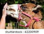 camel nuzzles hand. | Shutterstock . vector #62200909