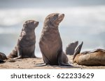 cape fur seals sitting on the... | Shutterstock . vector #622233629