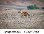 brown hyena running in the... | Shutterstock . vector #622240955